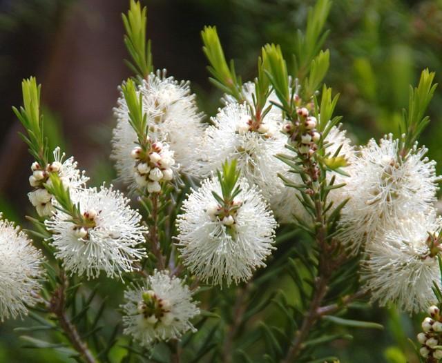 Flowers-of-the-Tea-Tree-640x526